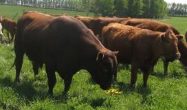 Bull-smelling-the-flower